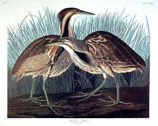 "American Bittern. From ""The Birds of America"" (Amsterdam Edition). John James AUDUBON"