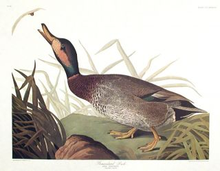 "Bemaculated Duck. From ""The Birds of America"" (Amsterdam Edition). John James AUDUBON"