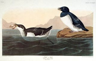 "Little Auk. From ""The Birds of America"" (Amsterdam Edition). John James AUDUBON"