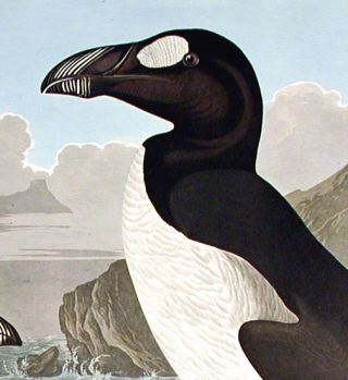 "Great Auk. From ""The Birds of America"" (Amsterdam Edition)"