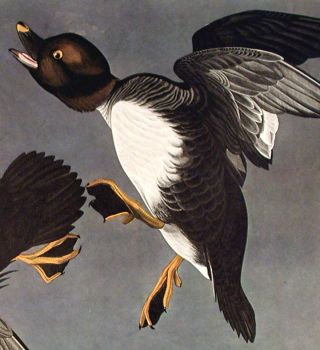 """Golden-Eye Duck. From """"The Birds of America"""" (Amsterdam Edition)"""