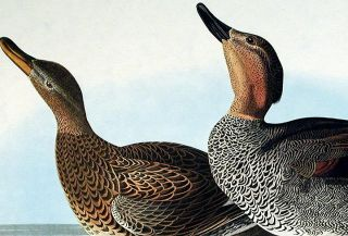 """Gadwall Duck. From """"The Birds of America"""" (Amsterdam Edition)"""