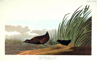 "Least Water-hen. From ""The Birds of America"" (Amsterdam Edition). John James AUDUBON"
