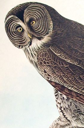 "Great Cinereous Owl. From ""The Birds of America"" (Amsterdam Edition)"