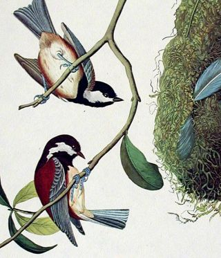 "Chestnut-backed Titmouse, Black-capt Titmouse, Chestnut-crowned Titmouse. From ""The Birds of America"" (Amsterdam Edition)"