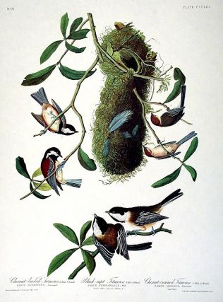 "Chestnut-backed Titmouse, Black-capt Titmouse, Chestnut-crowned Titmouse. From ""The Birds of America"" (Amsterdam Edition). John James AUDUBON."