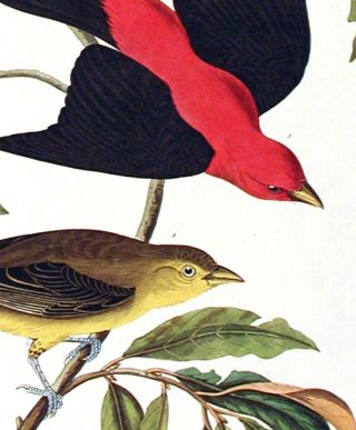 "Louisiana Tanager, Scarlet Tanager. From ""The Birds of America"" (Amsterdam Edition). John James..."