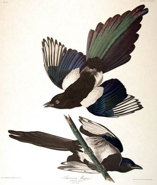 "American Magpie. From ""The Birds of America"" (Amsterdam Edition). John James AUDUBON"
