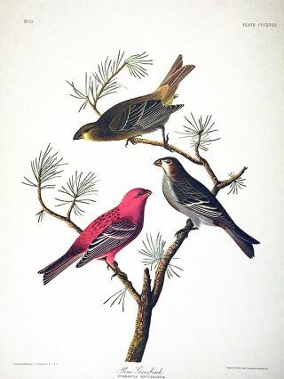 "Pine Grosbeak. From ""The Birds of America"" (Amsterdam Edition). John James AUDUBON"