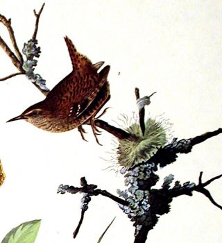 "Winter Wren, Rock Wren. From ""The Birds of America"" (Amsterdam Edition)"