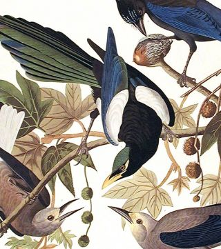 "Yellow Billed Magpie, Stellers Jay, Ultramarine Jay, Clark's Crow. From ""The Birds of America"" (Amsterdam Edition)"
