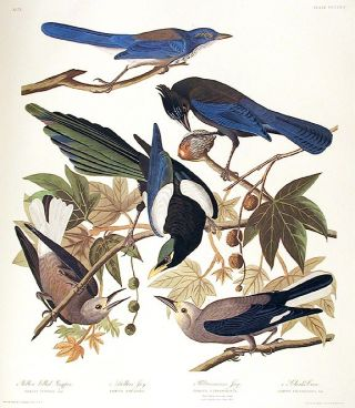 "Yellow Billed Magpie, Stellers Jay, Ultramarine Jay, Clark's Crow. From ""The Birds of America"" (Amsterdam Edition). John James AUDUBON."