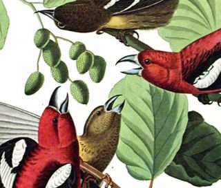 "White-winged Crossbill. From ""The Birds of America"" (Amsterdam Edition)"