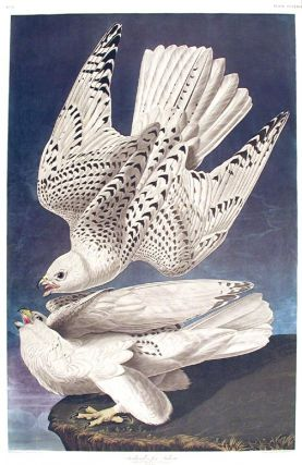 "Iceland, or Jer Falcon. From ""The Birds of America"" (Amsterdam Edition). John James AUDUBON."