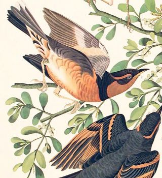 "Mountain Mocking-bird, Varied Thrush. From ""The Birds of America"" (Amsterdam Edition)"