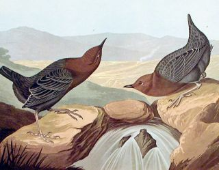 "American Water Ouzel. From ""The Birds of America"" (Amsterdam Edition)"