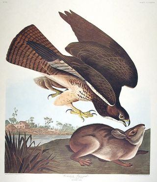 "Common Buzzard. From ""The Birds of America"" (Amsterdam Edition). John James AUDUBON."