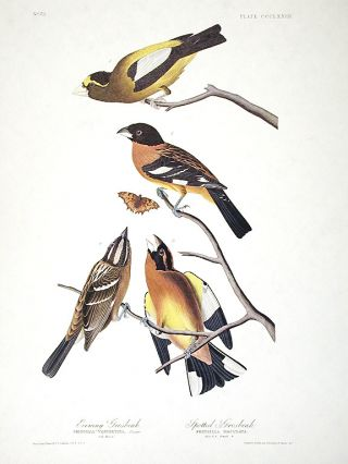 "Evening Grosbeak, Spotted Grosbeak. From ""The Birds of America"" (Amsterdam Edition). John James..."