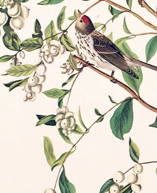 "Lesser Red-Poll. From ""The Birds of America"" (Amsterdam Edition)"
