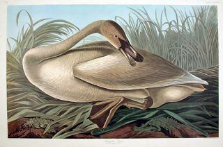 "Trumpeter Swan [young]. From ""The Birds of America"" (Amsterdam Edition). John James AUDUBON."