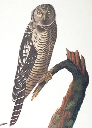 "Hawk Owl. From ""The Birds of America"" (Amsterdam Edition)"
