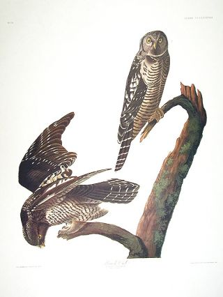 "Hawk Owl. From ""The Birds of America"" (Amsterdam Edition). John James AUDUBON"