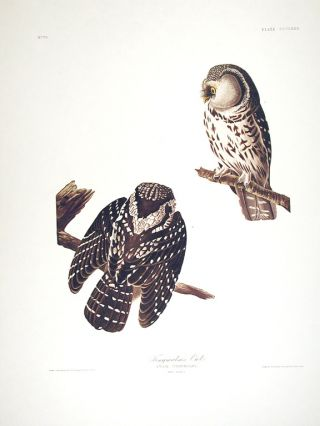 "Tengmalm's Owl. From ""The Birds of America"" (Amsterdam Edition). John James AUDUBON."
