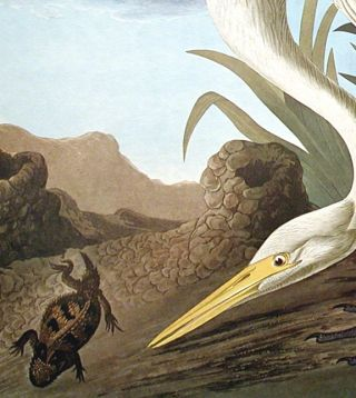 """White Heron. From """"The Birds of America"""" (Amsterdam Edition)"""