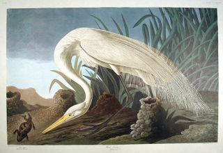 "White Heron. From ""The Birds of America"" (Amsterdam Edition). John James AUDUBON."