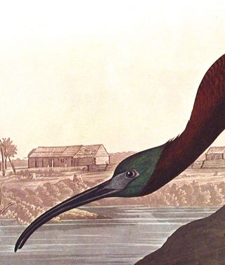 "Glossy Ibis. From ""The Birds of America"" (Amsterdam Edition)"