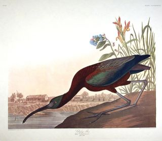 "Glossy Ibis. From ""The Birds of America"" (Amsterdam Edition). John James AUDUBON"