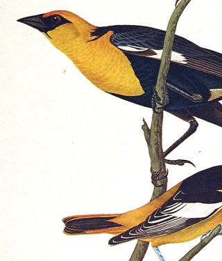 "Nuttall's Starling, Yellow-headed Troopial, Bullock's Oriole. From ""The Birds of America"" (Amsterdam Edition)"