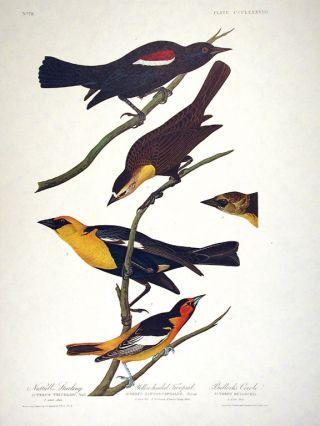 "Nuttall's Starling, Yellow-headed Troopial, Bullock's Oriole. From ""The Birds of America""..."