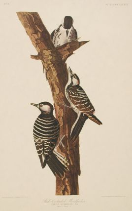 "Red-Cockaded Woodpecker. From ""The Birds of America"" (Amsterdam Edition). John James AUDUBON"
