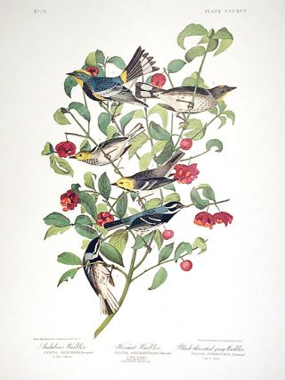 "Audubons Warbler, Hermit Warbler, Black-throated gray Warbler. From ""The Birds of America""..."