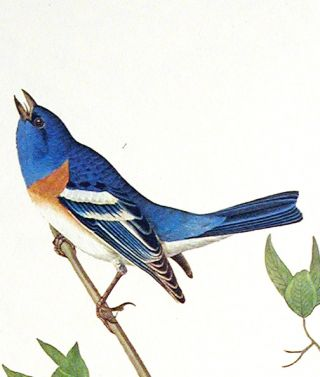 "Lazuli Finch, Clay-coloured Finch, Oregon Snow Finch. From ""The Birds of America"" (Amsterdam Edition)"