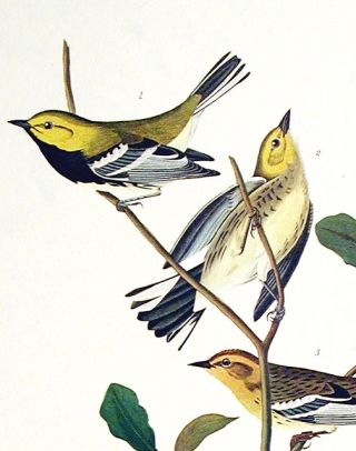 "Black-throated Green Warbler, Blackburnian Warbler, Mourning Warbler. From ""The Birds of America"" (Amsterdam Edition)"