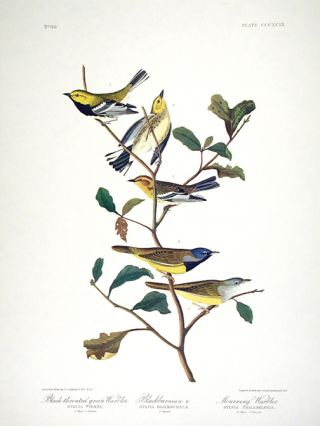 "Black-throated Green Warbler, Blackburnian Warbler, Mourning Warbler. From ""The Birds of America""..."