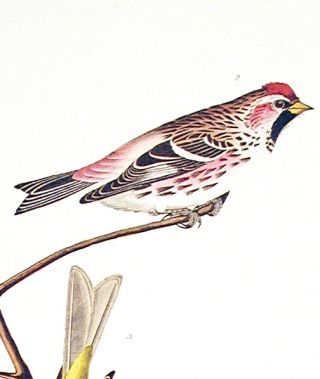 "Arkansaw Siskin, Mealy Red-poll, Louisiana Tanager, Townsend's Finch, Buff-breasted Finch. From ""The Birds of America"" (Amsterdam Edition)"