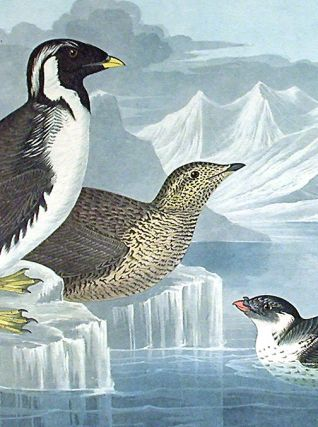 "Black-throated Guillemot, Nobbed-billed Auk, Curled-Crested Auk. From ""The Birds of America"" (Amsterdam Edition)"