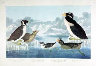 "Black-throated Guillemot, Nobbed-billed Auk, Curled-Crested Auk. From ""The Birds of America"" (Amsterdam Edition). John James AUDUBON."