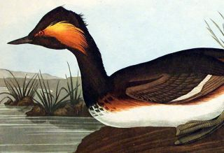 """Eared Grebe. From """"The Birds of America"""" (Amsterdam Edition)"""