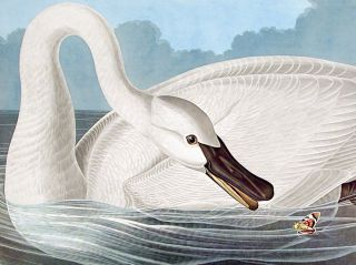 "Trumpeter Swan. From ""The Birds of America"" (Amsterdam Edition)"