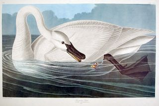 "Trumpeter Swan. From ""The Birds of America"" (Amsterdam Edition). John James AUDUBON."