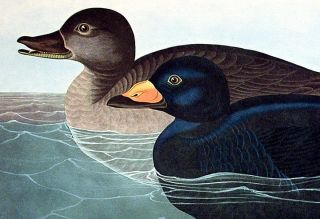 "American Scoter Duck. From ""The Birds of America"" (Amsterdam Edition)"