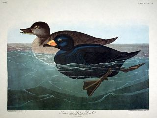 "American Scoter Duck. From ""The Birds of America"" (Amsterdam Edition). John James AUDUBON."