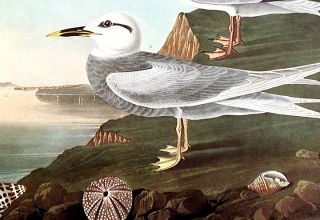 "Havell's Tern, Trudeau's Tern. From ""The Birds of America"" (Amsterdam Edition)"