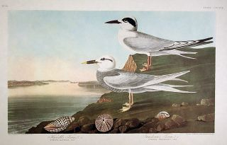 "Havell's Tern, Trudeau's Tern. From ""The Birds of America"" (Amsterdam Edition). John James AUDUBON"