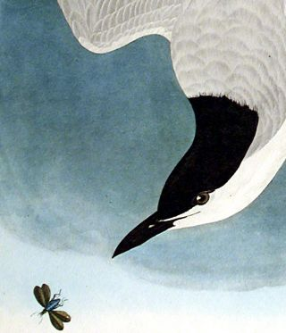 "Marsh Tern. From ""The Birds of America"" (Amsterdam Edition)"