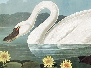 """Common American Swan. From """"The Birds of America"""" (Amsterdam Edition)"""